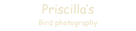 Priscilla's   Bird photography